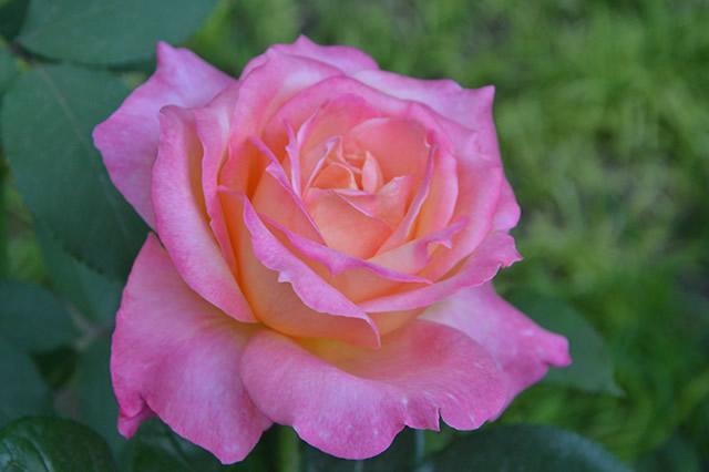 世界上最美的月季 十大最美的月季花品种 你见过几种