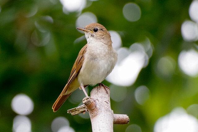 世界上声音最好听的鸟 十大最会唱歌的鸟 犹如天籁之音