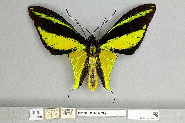 世界上最珍贵的蝴蝶有哪些 十大最为名贵的蝴蝶 第一名是中国特有